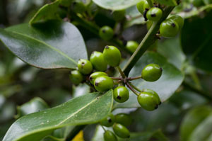 Green Holly Berry