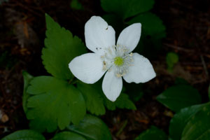 Three-leaved Anemone
