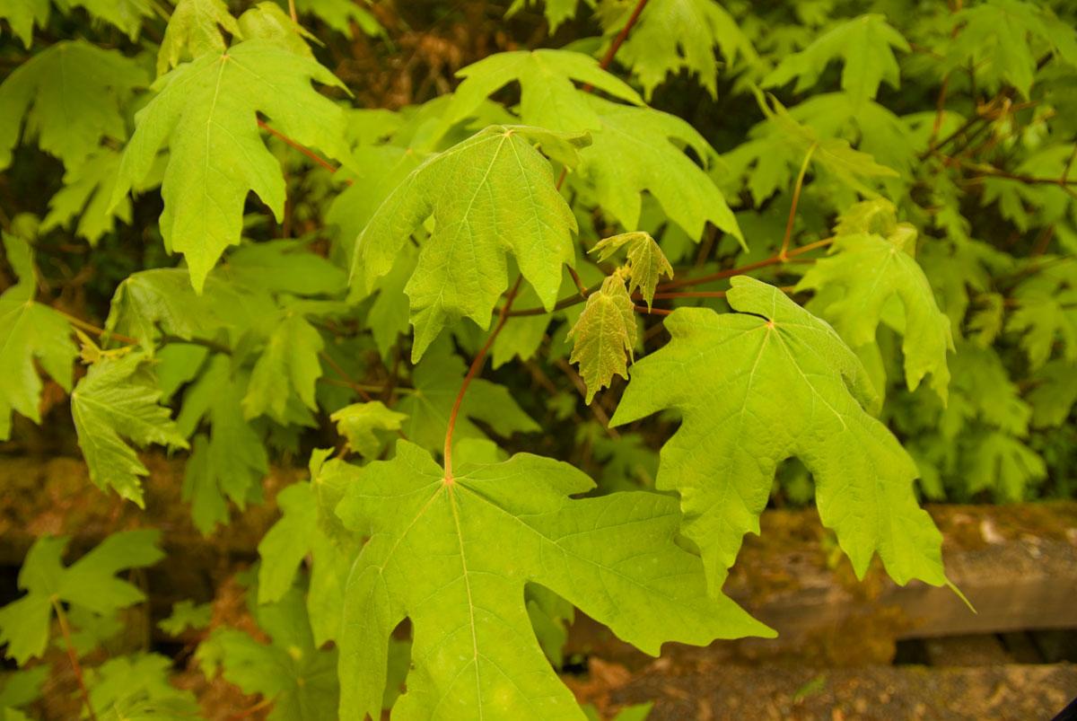 Bigleaf Maple Or Oregon Maple