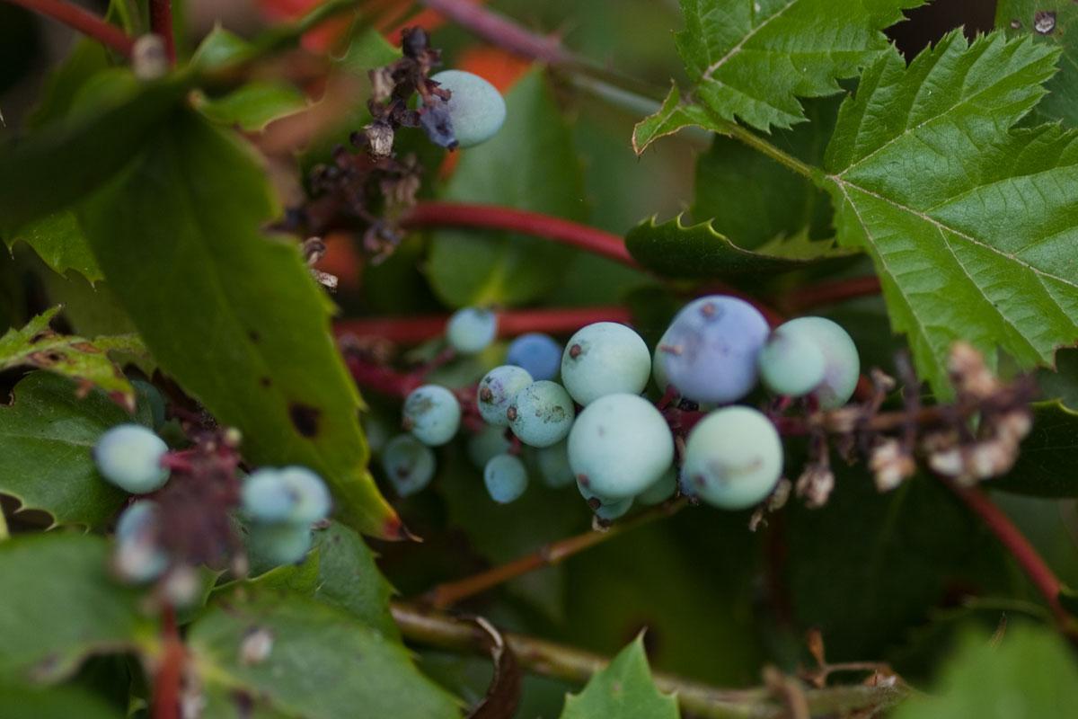 Oregon Grape Berberis aquifolium